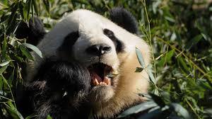 39 panda bear wallpapers wallpaperboat