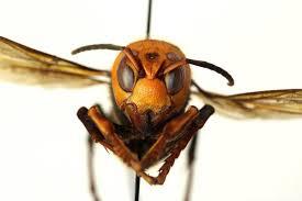 Asia's 'murder hornet' will arrive on ...