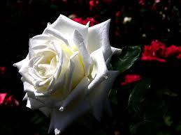 حبيبتي جمال أهديك وردة بيضاء