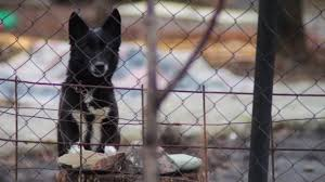Dog Barking Behind A Fence Stock Video C Video Rost 68158883