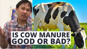 is cow manure is a good or bad garden