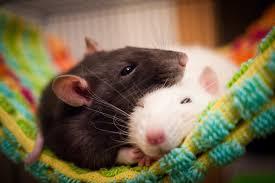 أسماء الأولاد الفئران 20 صورة أفضل الأسماء المستعارة للحيوانات