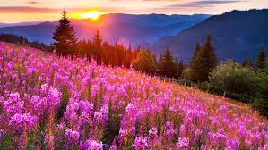 sunsets mounn mow lupine pink