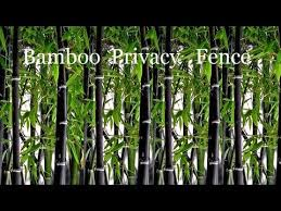 Plant Black Bamboo Plants Privacy Screen Live Privacy Fence Youtube