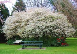 amelanchier canadensis new zealand