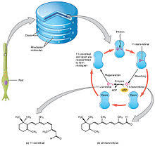 Visual Cycle Flow Chart Visual Phototransduction Wikipedia