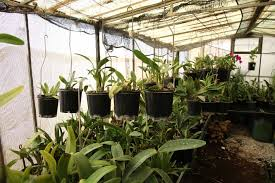 orchid shade house abc news australian broadcasting corporation