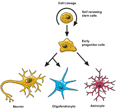 Brain Basics The Life And Death Of A Neuron National Institute Of