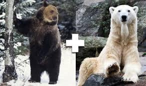 grolar bear size unusual animals animal hybrids at womansday com