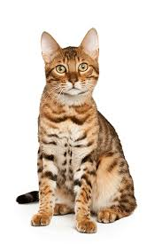 The Complete Guide To Bengal Cats In 2017