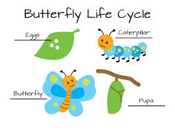 Image result for butterfly life cycle