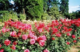 the portland international rose test garden for some inspiration image credit jtpubs com