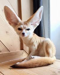 fennec fox. Wonderful Fox Curious Fennec Fox In Bangkok  In