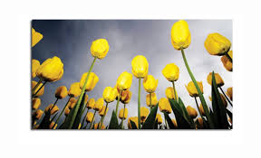 long stem yellow tulips field canvas wall art picture print 34x20 52x87cm
