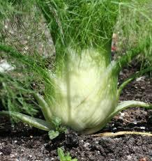 Selma Fino Fennel Seeds