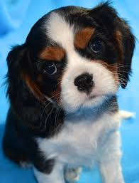 tricolor cavalier king charles spaniel puppies. Cavalier King Charles Spaniel Puppy Intended Tricolor Puppies