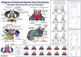 Horse Hoof Anatomy Biomechanics Poster