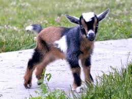 5 Best Dairy Goat Breeds For The Small Farm American Outdoors Net