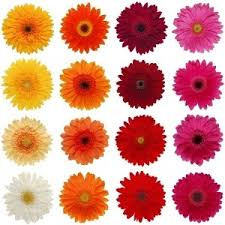 types of flowers in bouquets. gerberas colors. bouquet and arrangement types of flowers in bouquets