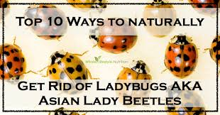 Asian lady bug remedy