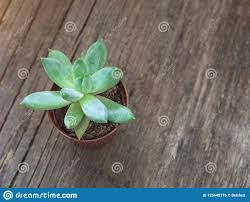 Natural <b>Green Cactus</b>, <b>Aloe</b> Succulent In A Pot On Wooden ...