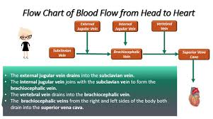 Pathway Of Blood Flow To The Right Kidney Flow Chart The Vessels Of Blood Circulation Scientist Cindy