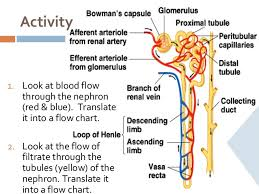Excretory System Structure Function
