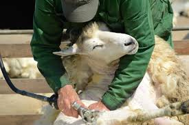 Image result for sheep shearing