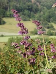 Salvia verticillata - Wikipedia