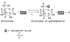 steps explained steps by steps withstep  glycolysis
