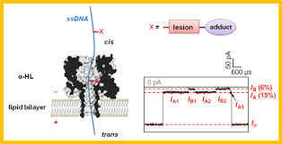 Nanopore Sequencing Of Dna Damage Department Of Chemistry