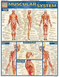Muscle System Chart