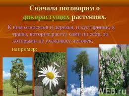 Дикорастущие и культурные растения презентация к уроку  слайда 11 Сначала поговорим о дикорастущих растениях К ним относятся и деревья и кустарн