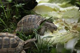 What Is The Life Span Of A Russian Tortoise Youll Be