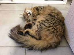 Why Don't Some Cats Like Belly Rubs? - Cattitude Daily