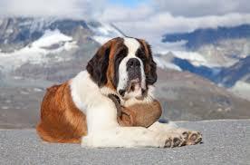 Best Dog Food For Saint Bernards Puppies And Adult Saint