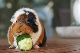 treat the 5 most common guinea pig diseases