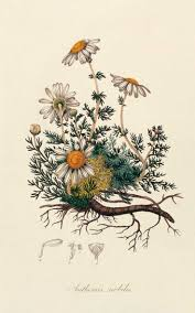 The Best Herbs for Pain Relief. Daisy Flower DrawingFlower Design ...