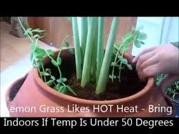 Small Picture Garden Design Garden Design with Where to buy Fever Grass