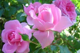 La rose Images?q=tbn:ANd9GcQ-AHQpxZNbu5_XvgeJPLikHcKo17GG9SLPtWyJEEnjqzNV6EZv