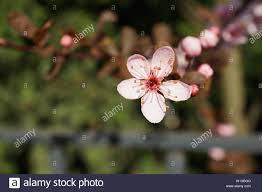 Cold Light Photography Springs Beautiful Cherry Blossoms In Warm And Cold Light