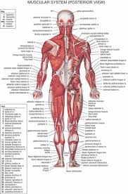 Human Body Anatomical Chart Muscular System Campus Knowledge Biology Classroom Wall Painting Fabric Poster36x24 20x13 02 Canada 2019 From Kaka1688
