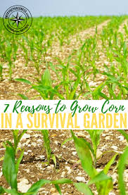 7 reasons to grow corn in a survival garden there are many diffe foods you