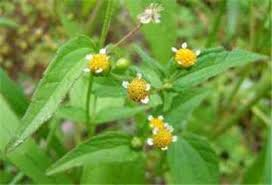 Factsheet - Galinsoga parviflora