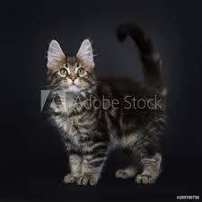 Fotografie Obraz Classic Brown Tabby Maine Coon Cat Kitten