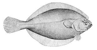 Nc Flounder Limits Have Changed Ocean Isle Fishing Pier