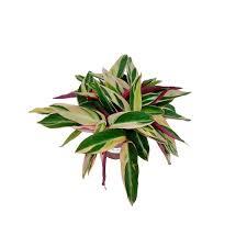 Isso porque, sua estrutura folicular apresenta lindos nuances em tons de verde e rosa. Muda De Maranta Tricolor Ou Calathea Triostar Pote 12 Trialstar Plantei