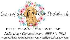 english cream miniature dachshund