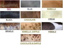 Dachshund Color Chart Colors Patterns