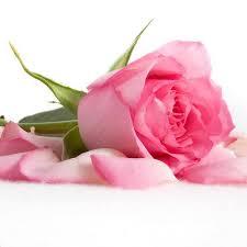 details about 200pcs pink rose seeds garden flower seeds rosa rugosa